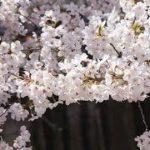 【感動】トムの桜 【泣ける話】