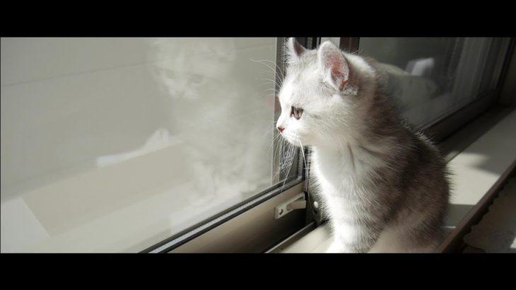 【感動物語】子猫が主人公の映画の予告を作ってみた!!【アメリカンカール】[Impressed] The kitten made a trailer for the hero's movie!!
